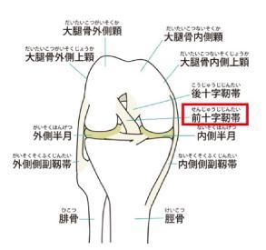 前十字靭帯(ACL)損傷について
